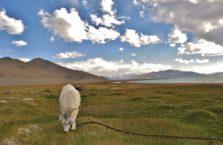 Tadżykistan - koza nad jeziorem Karakul.