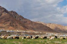 Tadżykistan - pasące się kozy na Trasie Pamirskiej.