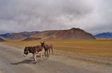 Tadżykistan - dziekie osły na drodze.