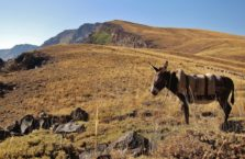 Turkey - donkey in Nemrut Park.
