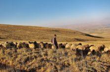 Turkey - in Nemrut Nationa Park with goats.