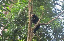 Bornean Sun Bear Malaysia (1)