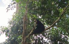 Bornean Sun Bear Malaysia (2)
