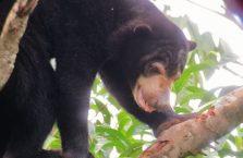 Bornean Sun Bear Malaysia (3)