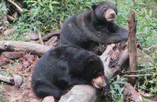 Bornean Sun Bear Malaysia (4)