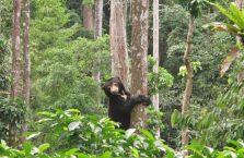 Bornean Sun Bear Malaysia (5)