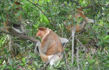 Labuk Bay (proboscis) (23)