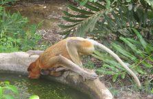 Labuk Bay (proboscis) (25)