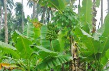 Pulau Tioman (52)