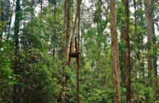 Semenggoh Orangutan Borneo (10)