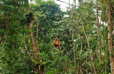 Semenggoh Orangutan Borneo (11)