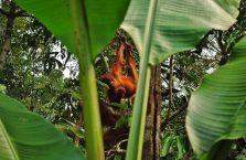 Semenggoh Orangutan Borneo (2)