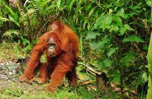 Semenggoh Orangutan Borneo (3)