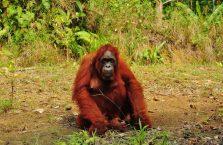 Semenggoh Orangutan Borneo (4)