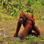 Semenggoh Orangutan Borneo (6)