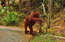 Semenggoh Orangutan Borneo (7)