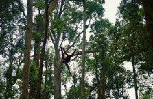 Semenggoh Orangutan Borneo (9)