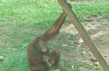 Sepilok Orangutan Borneo Malaysia (1)