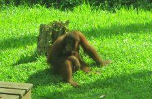 Sepilok Orangutan Borneo Malaysia (2)