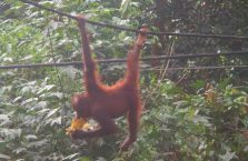 Sepilok Orangutan Borneo Malaysia (3)