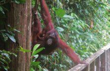 Sepilok Orangutan Borneo Malaysia (4)