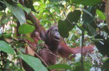 Sepilok Orangutan Borneo Malaysia (5)