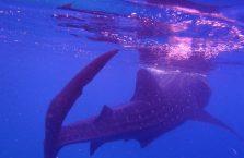 Oslob whale sharks (12)