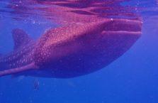 Oslob whale sharks (9)